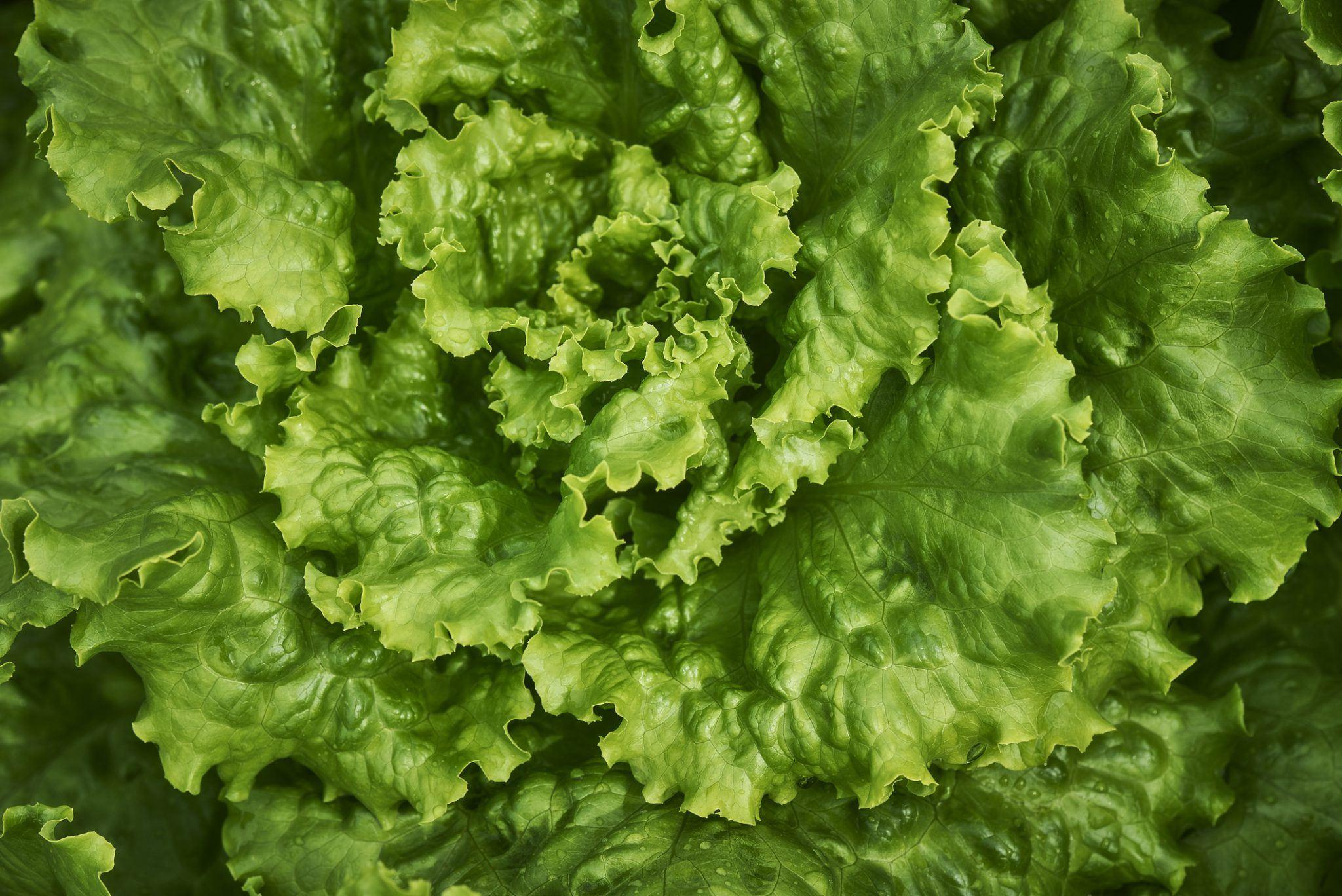 Semence bio de salade et laitue