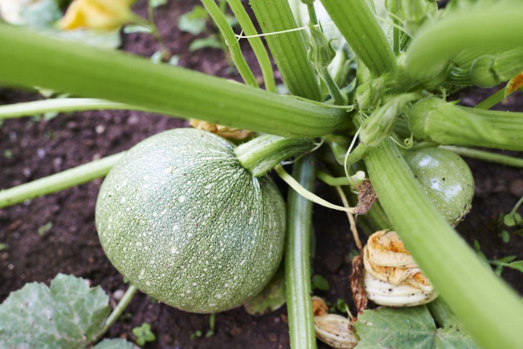 La courgette de Nice à fruits ronds bio en graines bio