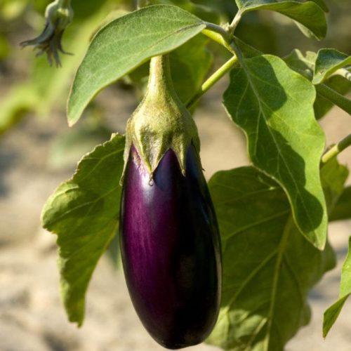 Semences et graines bio d'aubergines violettes longues