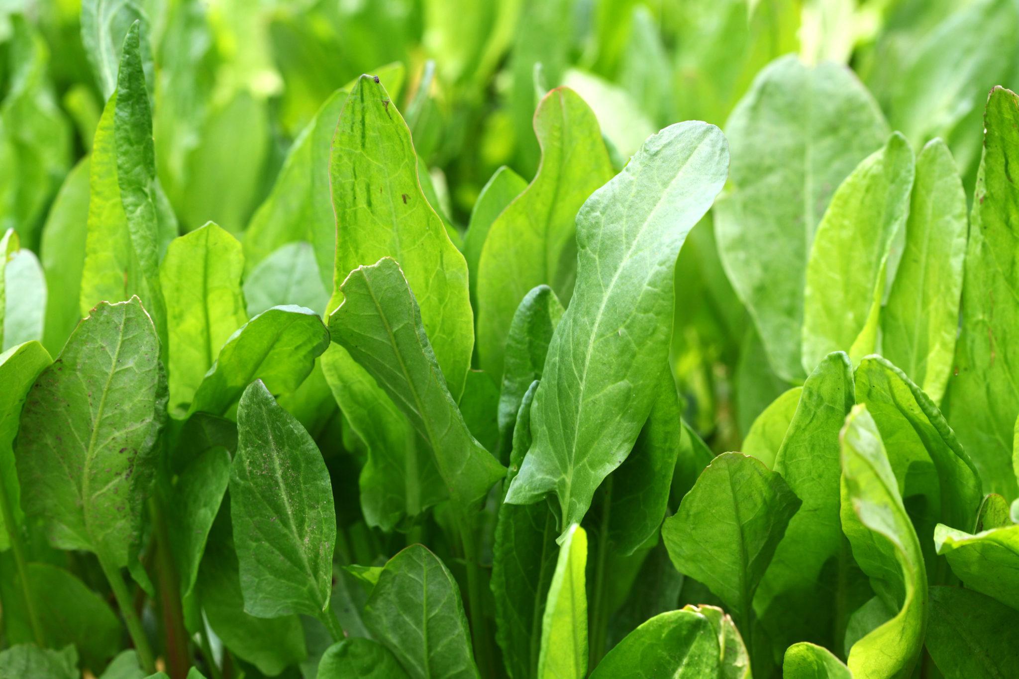 Graines et semences biologique d'oseille commune de Belleville