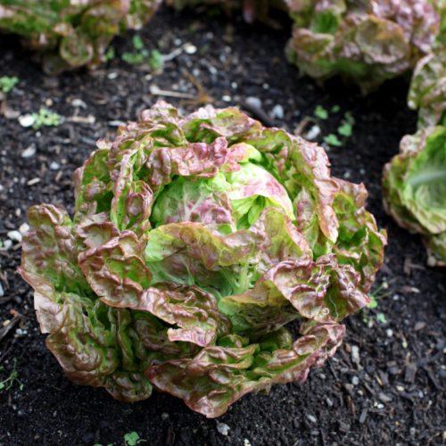 Semences et graines biologiques des salade feuille de chene