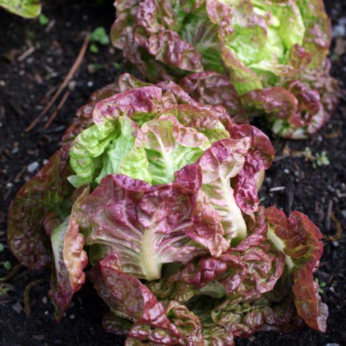 Salades feuilles de chênes en graines bio