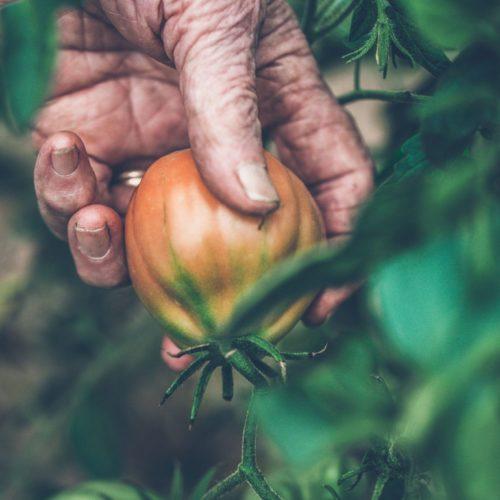 Graines et semences de tomate cœur de bœuf biologique