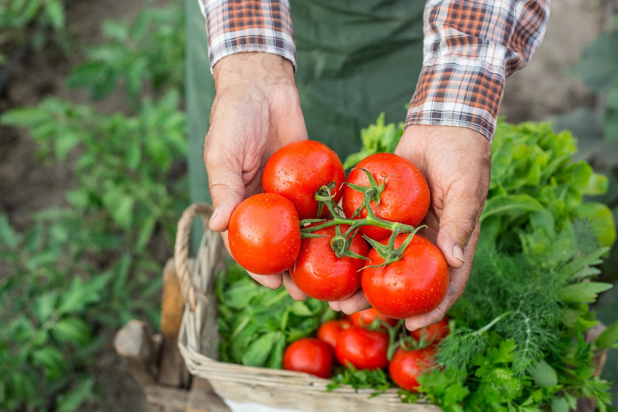 Graine et semence bio de tomate marmande