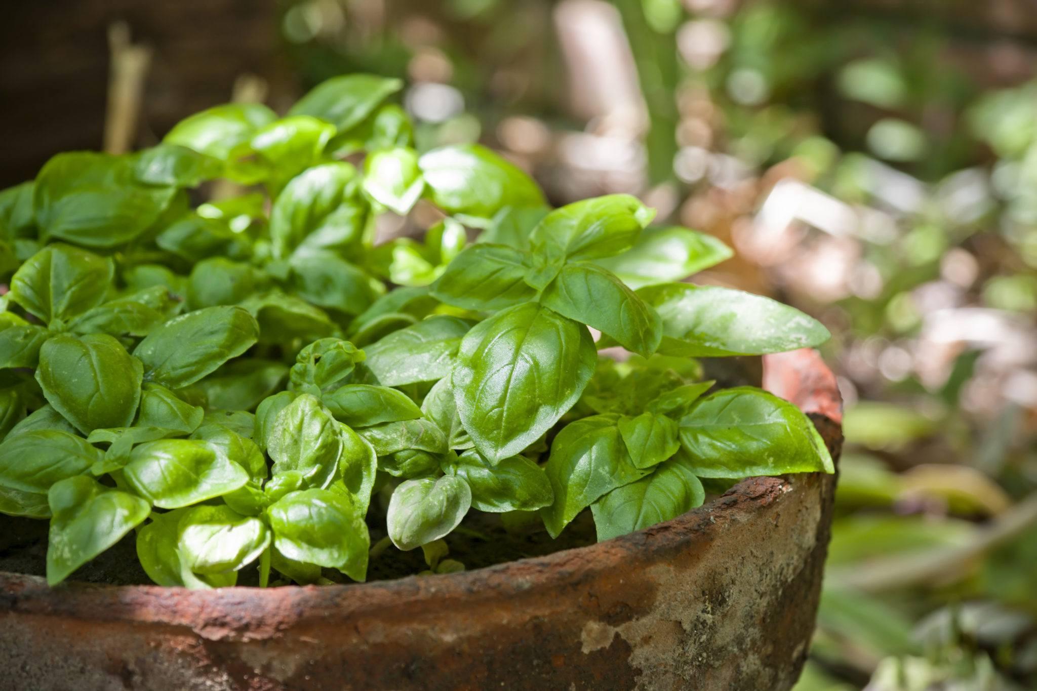 Graines et semences de basilic citron bio