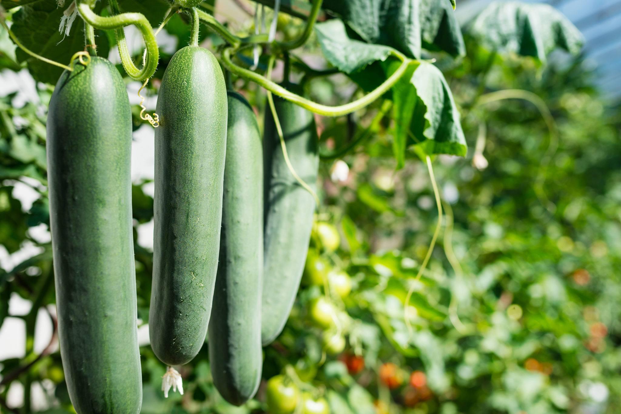 Graines et semences de concombre généreux bio