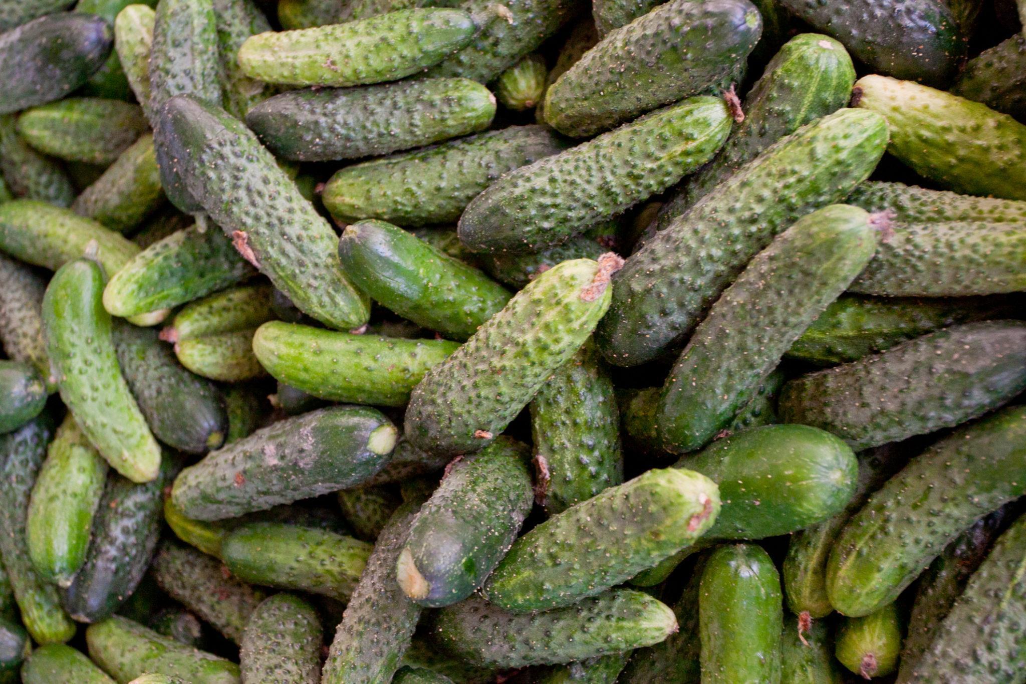 Semences et graines bio de cornichon petit vert de paris