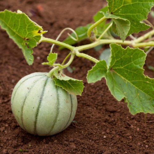 Semences et graines bio de melon noir de Carmes