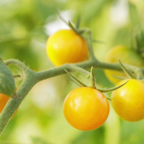 Graines et semences de tomates cerises cocktail clémentine bio
