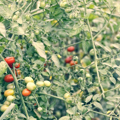 Semences et graines bio de tomates cerises race brin de muguet