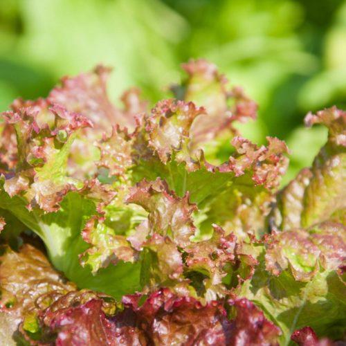 Graines et semences bio de salade rouge grenobloise
