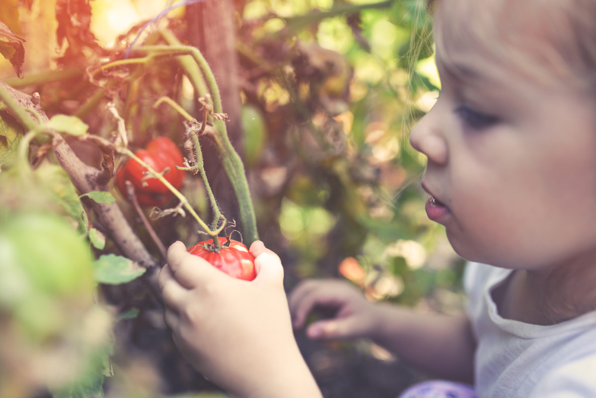 Récolte de tomates mûres