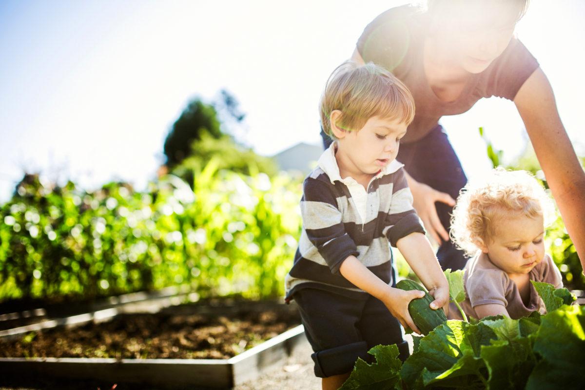 Récolte de légumes au potager